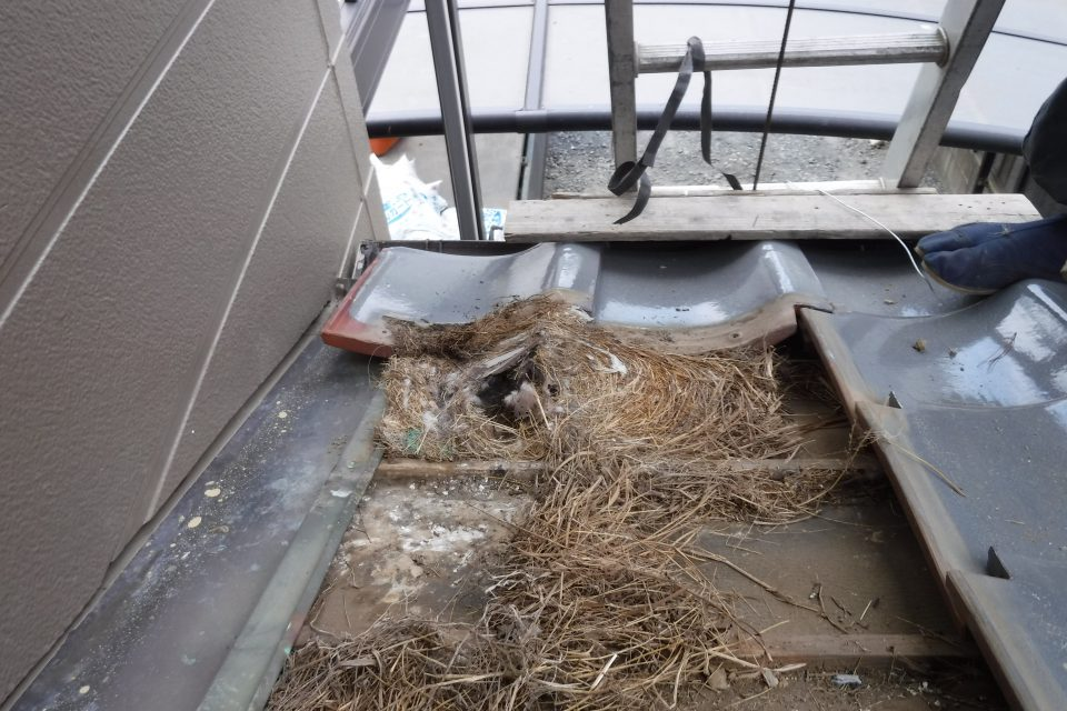 瓦の隙間に大量の鳥の巣を発見
